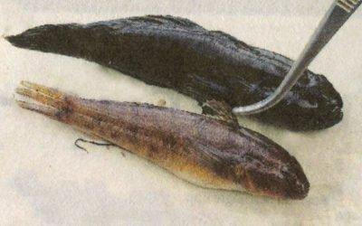 Främmande fiskart  utanför Muskö