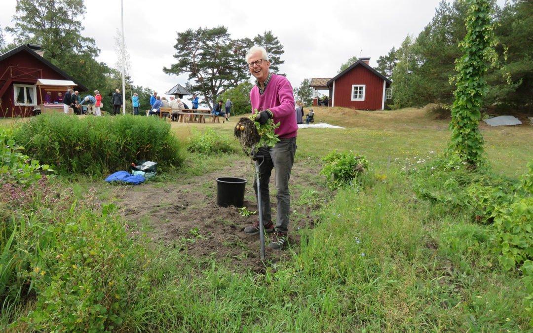 Bo Myrup tar upp färskpotatis i trädgårdslandet. Foto: Bengt Grönkvist