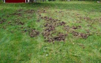 Vildsvinen ställer till skada i trädgårdarna