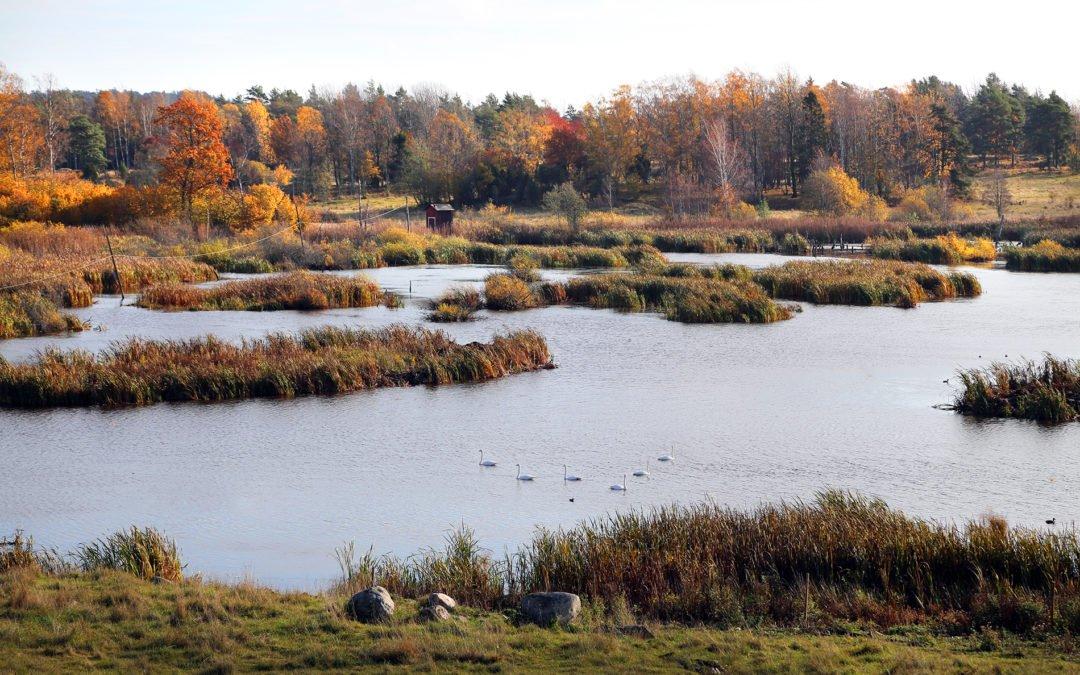 Maren på Muskö har restaurerats och gynnat sjöns fågelliv. Sångsvanar. Foto: Johan Bjurer