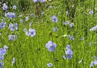 Blomning 5 juli - Foto: Veronika Ersson